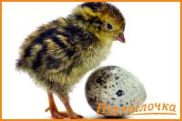 Інкубаційні яйця перепелів